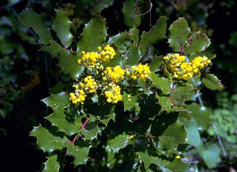 Oregon_grape_lg_BLM.jpg