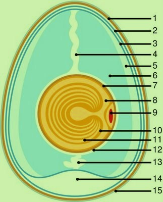483px-anatomy_of_an_egg_svg-copy1