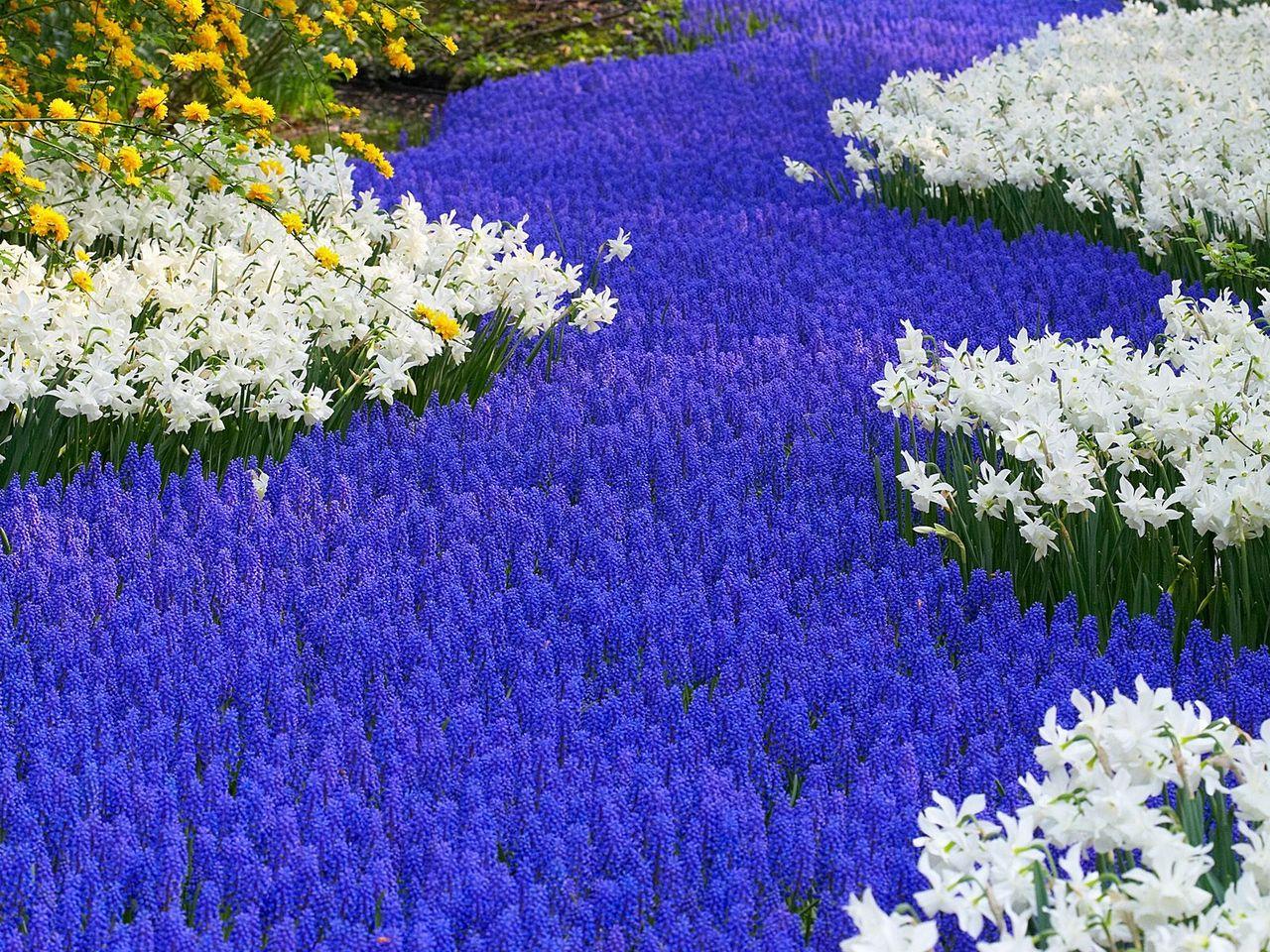 grape-hyacinths-and-daffodils--keukenhof-gardens--lisse--holland