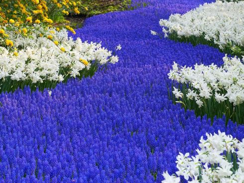 grape-hyacinths-and-daffodils--keukenhof-gardens--lisse--holland