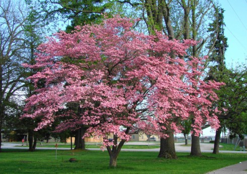 Dogwood-Tree.jpg