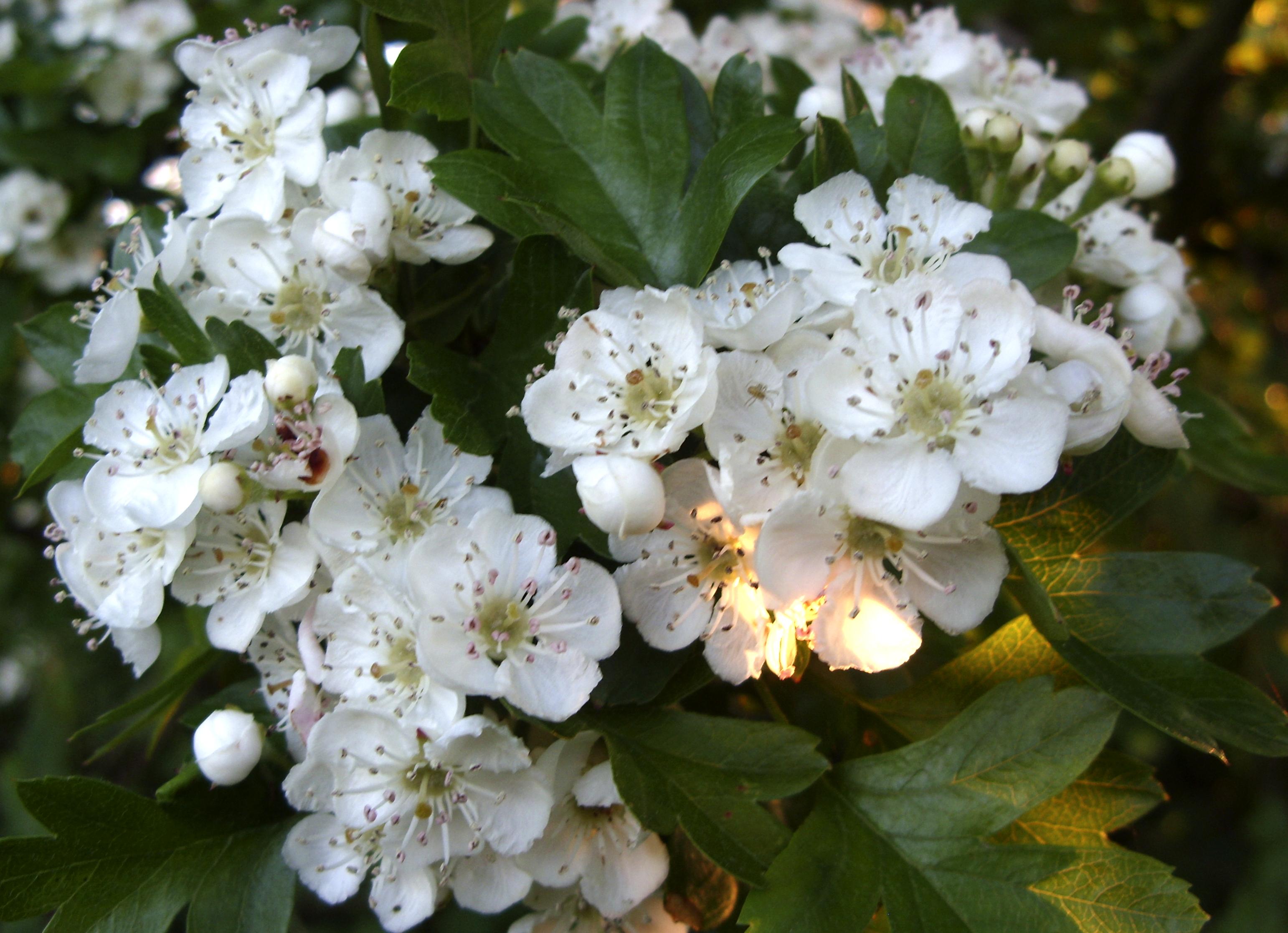 hawthorn-blossom.jpg