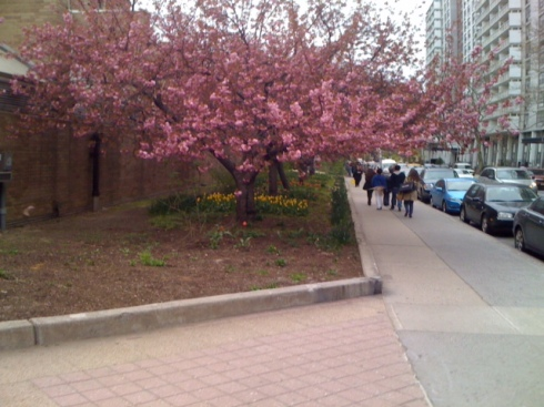 New York University- Pink Dogwood trees and Tulips