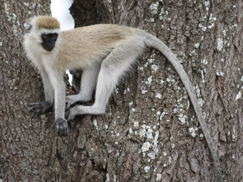 071002124929_regret_of_vervet_monkey.jpg