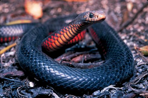 Red-bellied black snake, Lota.