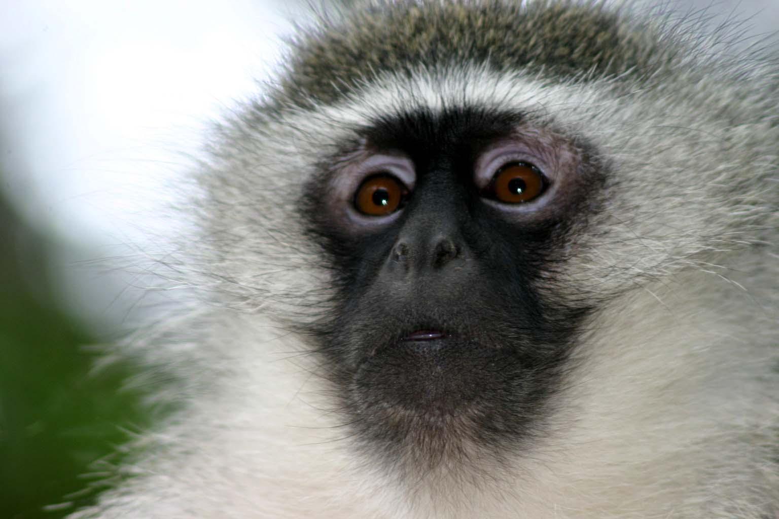 Face_of_adult_male_vervet_monkey.jpg