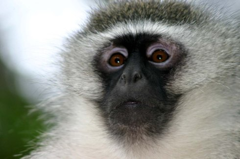 Face_of_adult_male_vervet_monkey.jpg