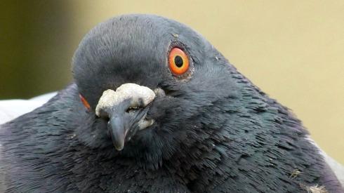 Ugly-Pigeon