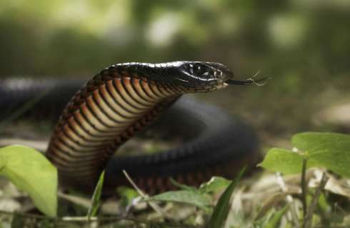 venomous_red_bellied_black-1030x672