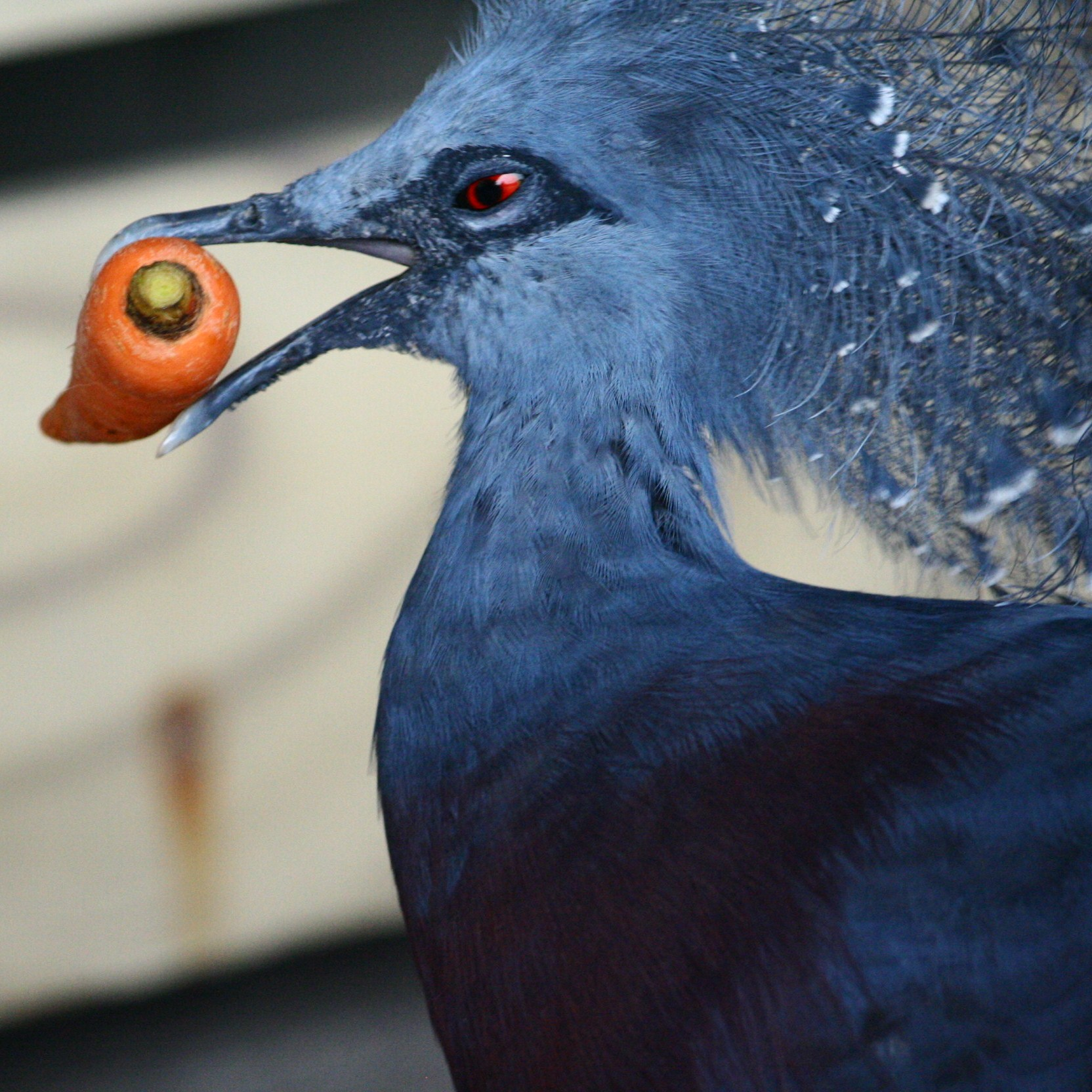 Victoria_Crowned_Pigeon_(Goura_victoria)_with_carrot.jpg