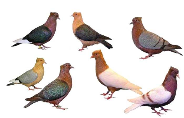 merpati-hias-Archangel-pigeons-breeder-pahang.jpg