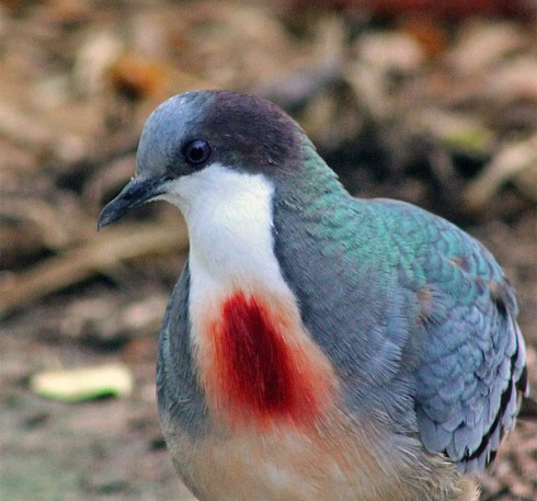 mindanao_bleeding_heart_dov-600x560.jpg