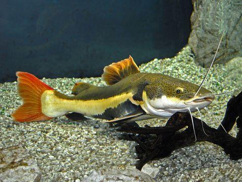 Pimelodidae_-_Phractocephalus_hemioliopterus