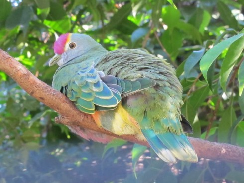 rose-crowned-fruit-dove.jpg