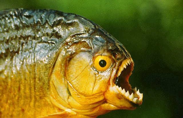 The Piranha Theory