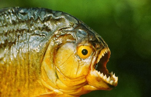 The Piranha Theory