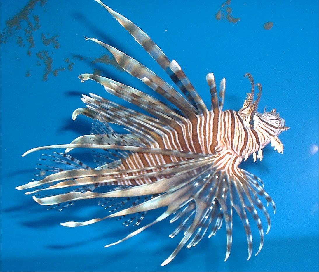 NCB-Morris_ lionfish.jpg