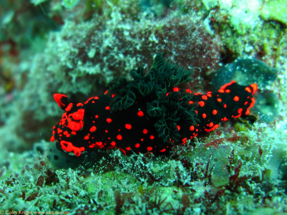 Nudibranch, Nembrotha guttata 5759.jpg
