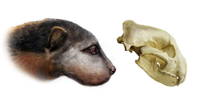Un-antepasado-de-la-comadreja-rompia-huesos-con-los-dientes_image_380.jpg