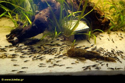 ancistrus-cf-cirrhosus-with-fry