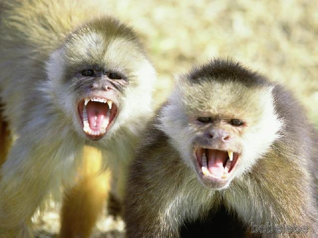 capuchin-monkeys.jpg