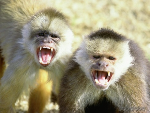 capuchin-monkeys.jpg