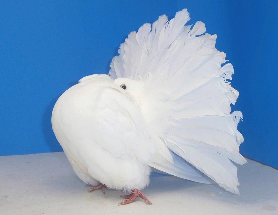 fantail pigeons ferrebeekeeper