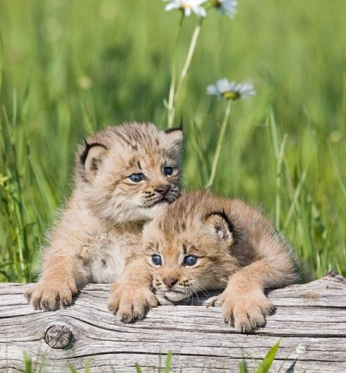 Two_Cute_Baby_Lynx_Kittens_Cubs.jpg