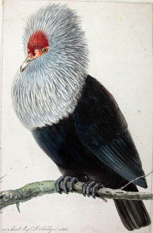 800px-Pigeon_Hollandais.jpg