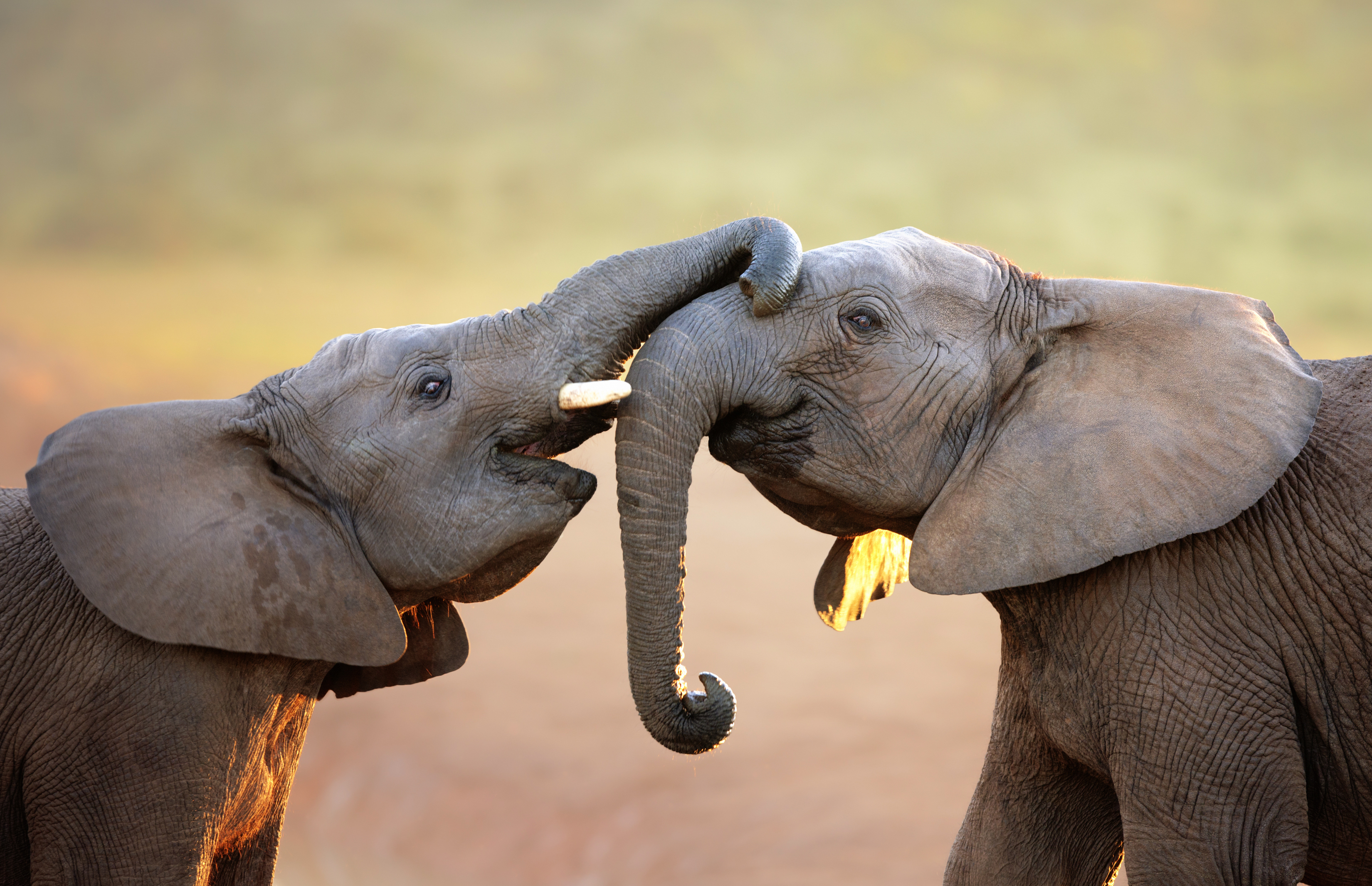 bigstock-elephants-touching-each-other-36460768.jpg