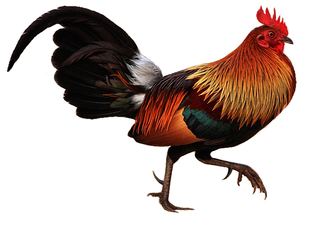 Red_jungle_fowl_white_background.png