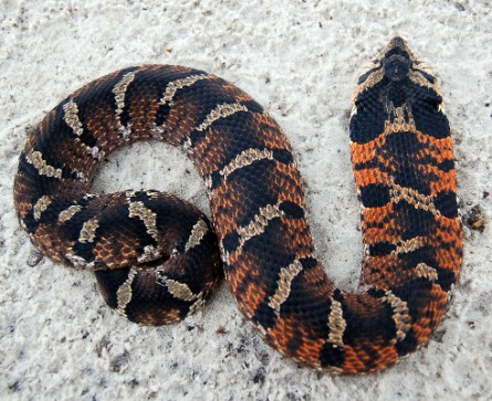 Eastern_Hognose_Snake.jpg