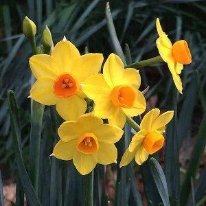 jonquil-flowers-300x300