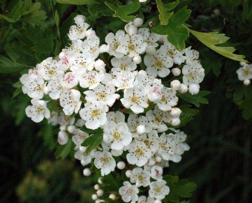 130531tglnr-flr4-hawthorn-blossom-bryn-euryn.jpg