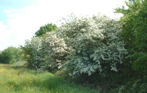 flowering bonsai (16)