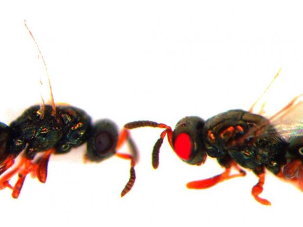 red-eyed-wasp.jpg