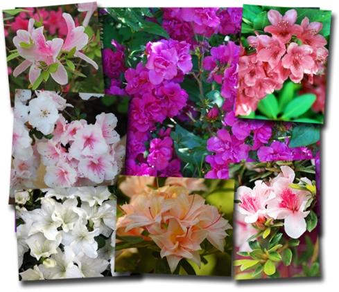 azalea-compwc-lores
