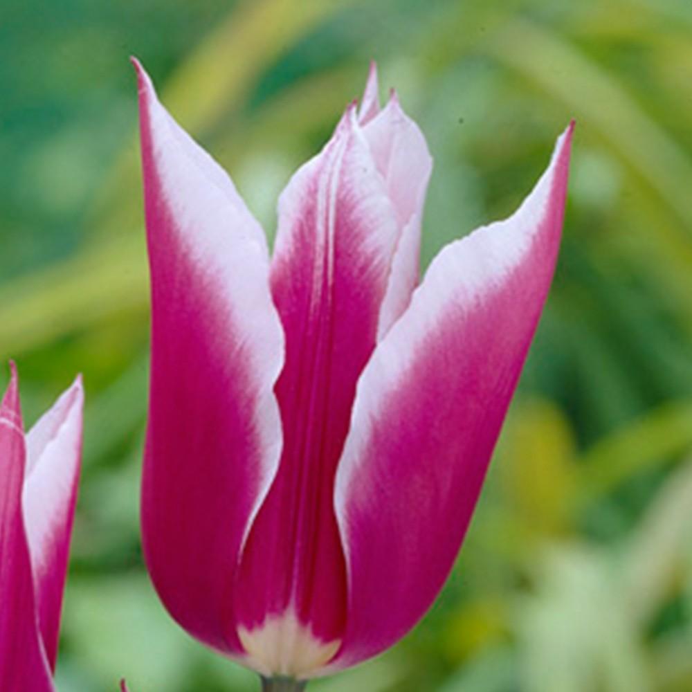 tulip_claudia_closeup_1014389.jpg