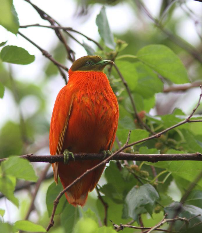 Ptilope_orange_4.jpg