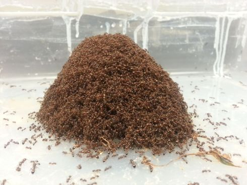 fire-ant-ball