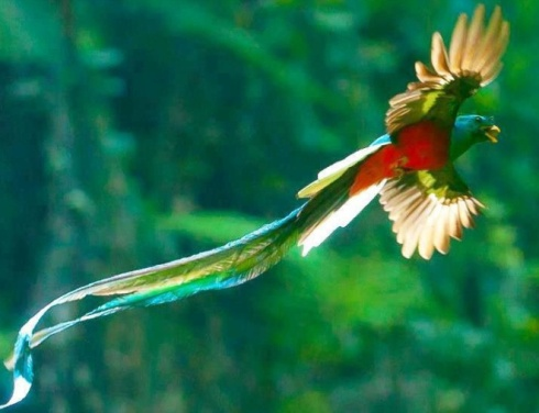 quetzal-bird-in-flight.jpg