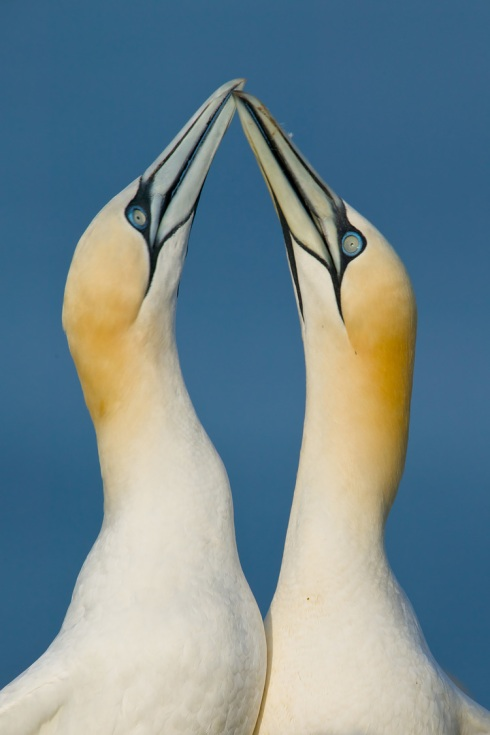 Northern Gannet (Morus bassanus), sky pointing courtship display