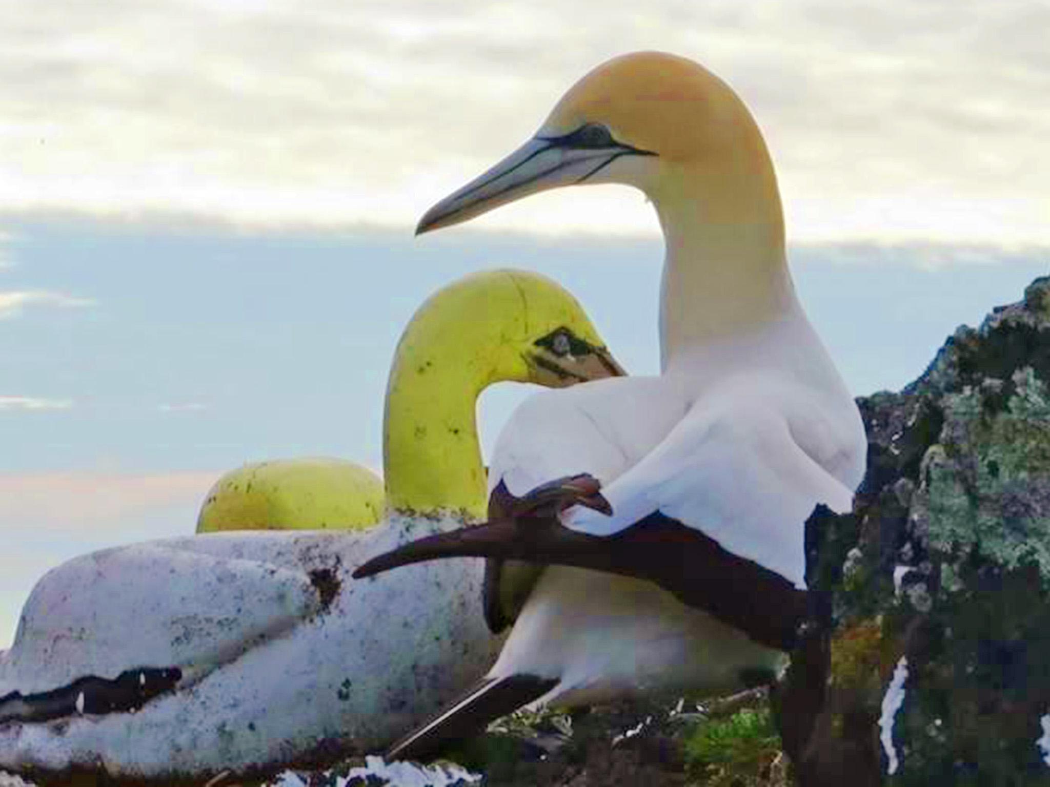 nigel-gannet