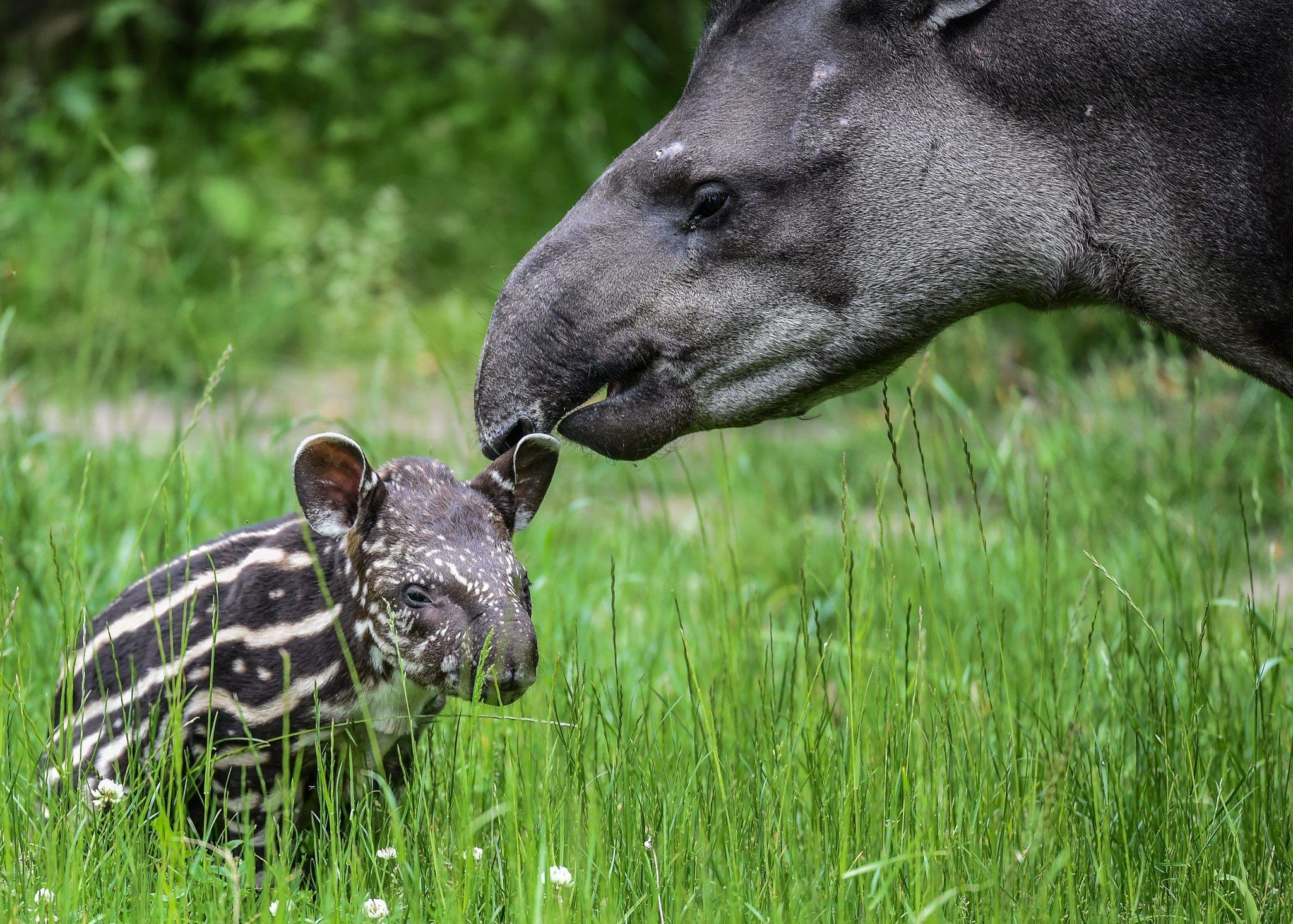ct-video-prague-zoo-welcomes-baby-tapir-20150529.jpg