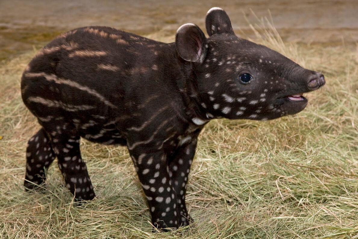 tapir_baby_animals