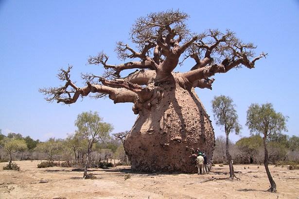 baobab-tree.jpg