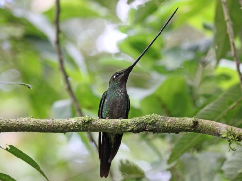 Sword-billed_Hummingbird_RWD2.jpg