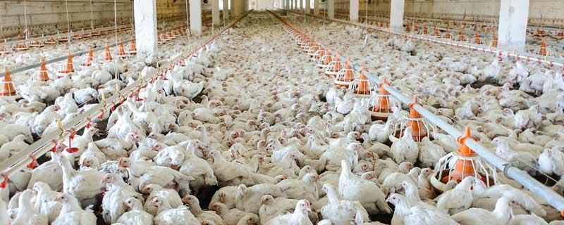 chicken-farm.jpg
