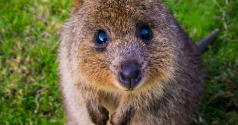 Quokka_Sam-West.jpg