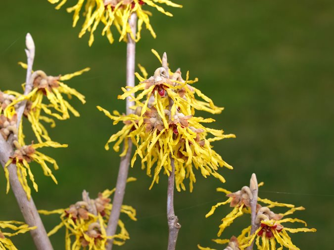 hamamelis-arnold-promise-yellow-witch-hazel-garden-design_11676.jpg